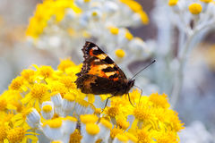 Small Tortoiseshell Butterfly on Dusty Miller plant. Small Tortoiseshell Butterfly with it's wings half open sitting on a  Dusty Miller plant Stock Photography