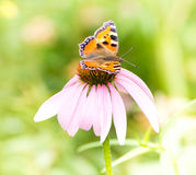 Small tortoiseshell butterfly on Echinacea blossom Royalty Free Stock Photography