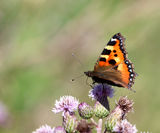 Small tortoiseshell butterfly from europe Royalty Free Stock Photography