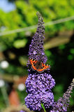 Small Tortoiseshell Butterfly. Royalty Free Stock Image
