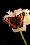 Small tortoiseshell butterfly on flower Royalty Free Stock Images