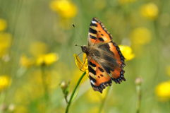 Small tortoiseshell butterfly on flower Royalty Free Stock Image