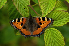 Small tortoiseshell butterfly on a green leaf Stock Photos