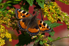Small tortoiseshell butterfly on a green leaf Stock Image