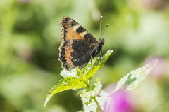 Small tortoiseshell butterfly isolated by nature Stock Photos