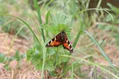 Small tortoiseshell butterfly stock images