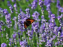 Small tortoiseshell butterfly on a lavender plant. Small tortoiseshell butterfly Aglais urticae on a purple flower of a lavender plant in a garden royalty free stock photo
