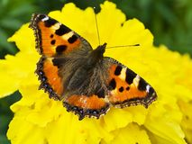 Small Tortoiseshell butterfly Royalty Free Stock Photography