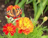Small tortoiseshell butterfly Stock Photos