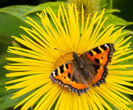 Small Tortoiseshell Butterfly Royalty Free Stock Photo