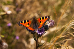 Small tortoiseshell butterfly. Portrait of small tortoiseshell butterfly on the flower. Photography of wildlife Stock Image