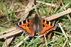 A Small Tortoiseshell butterfly, resting in the grass. stock photos