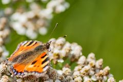 Small tortoiseshell Butterfly with rolled up tongue royalty free stock photos