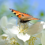 Small tortoiseshell butterfly on schersmin philadelphus  pubescens Royalty Free Stock Photography