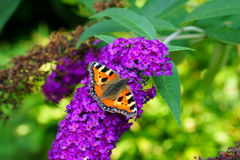 Small tortoiseshell butterfly on summer lilac Royalty Free Stock Photo