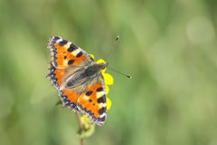 Small tortoiseshell butterfly top view Stock Photography
