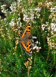 Small Tortoiseshell Butterfly on White Heather Stock Images