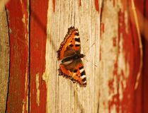 Small Tortoiseshell butterfly on a wooden wall Stock Image