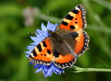 Small Tortoiseshell on Corn Flower Royalty Free Stock Photography