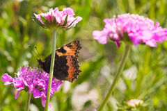 Small tortoiseshell drinking nectar on summerday Stock Photo