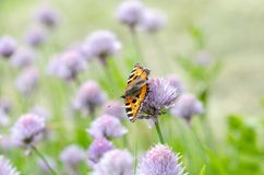 Small Tortoiseshell feeding on flower. Small Tortoiseshell Arglais urticae feeding on garlic flower in garden. Close up royalty free stock photo