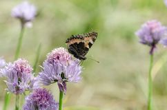 Small Tortoiseshell feeding on flower. Small Tortoiseshell Arglais urticae feeding on garlic flower in garden. Close up royalty free stock image