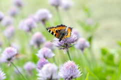 Small Tortoiseshell feeding on flower. Small Tortoiseshell Arglais urticae feeding on garlic flower in garden. Close up royalty free stock photos