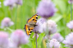 Small Tortoiseshell feeding on flower. Small Tortoiseshell Arglais urticae feeding on garlic flower in garden. Close up royalty free stock images