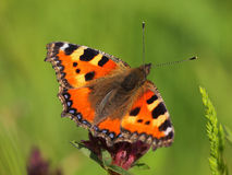 Small Tortoiseshell with green background Royalty Free Stock Images