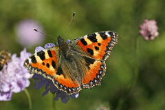 Small Tortoiseshell (Nymphalis Urticae) Stock Photo