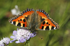 Small Tortoiseshell, (Nymphalis urticae) Stock Photos