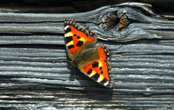Small tortoiseshell (nymphalis urticae). Stock Photography