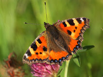 Small Tortoiseshell resting Royalty Free Stock Photos