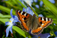Small Tortoiseshell and Siehe's Glory-of-the-Snow Stock Photography