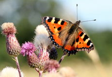 Small Tortoiseshell on Thistle Royalty Free Stock Image
