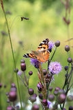 Small tortoiseshell upon thistle flower in Italy. The Small Tortoiseshell (Aglais urticae) is a well-known colourful butterfly, found in temperate Europe. The stock image