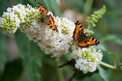 Small Tortoiseshell. Three Small Tortoiseshell butterflies sitting on a white flower royalty free stock images