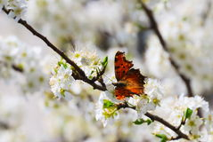 Small tortoiseshell on white blossom Royalty Free Stock Photos