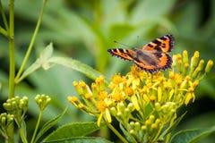 Small Tortoiseshell on Yellow Wildflowers. Dorsal view macro of a Small Tortoiseshell Papilio urticae on a yellow wildflower Senecio cannabifolius near Stock Photos