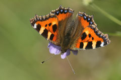 Small Tortoishell Butterfly (Aglais urticae). Stock Photos