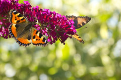 Small tottoiseshell butterflies on. Two Small tottoiseshell butterflies on Butterfly bush in the garden in summer with bokeh background and copyspace Stock Images