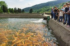 A Small tour group of tourists stands near an artificial pond trout farm and feeds the fish. Demonstration rainbow trout breed. Adler, Sochi, Russia - may 04 stock image