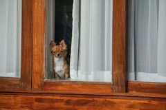 Small dog inside the house looking out from window. Small toy dog inside the house looking out from window royalty free stock photos