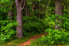 Small trail in a dense forest, Shenandoah National Park, Virgini Royalty Free Stock Image