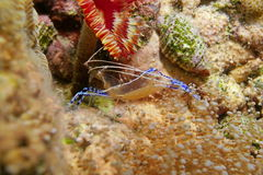 Small transparent shrimp with eggs under its body Royalty Free Stock Photos