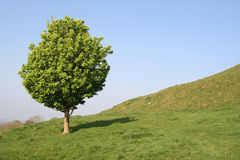 A small tree. In an English field Royalty Free Stock Photo
