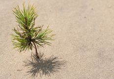 Small tree. Small pine on the sand desert Stock Photography