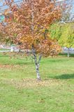 Small tree in autumn on a green grass lawn in the city. On a sunny day with little sky view Stock Image