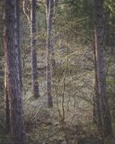 Small tree between big pine trees in a dark forest royalty free stock photo