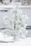 Small tree covered in snow Royalty Free Stock Photography